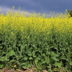 Fund short position climbs above 55,000 in canola