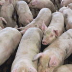African swine fever threat hangs over industry