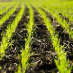Winter wheat crop sprouting in southwest Ontario