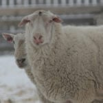 Old ram sperm found to be as good as fresh