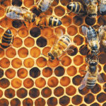 Neonic seed treatments seen as safe for bees