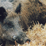 Wild boar that escaped from farms and now run wild across the Prairies could become a way for African swine fever to spread to the domestic herd.  |  File photo