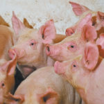 In a March 11 report, the U.S. agricultural attache to China forecasted a 13 percent reduction in the country's swine herd to 374 million animals by the end of 2019 from 428 million at the start of the year.