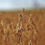 Grain companies expect rising demand for soybeans