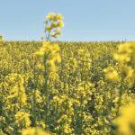 April trade figures show China has hurt canola exports