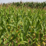 North-Central Indiana could face smaller corn yields