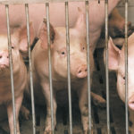 As of Sept. 10, 74 Manitoba hog production facilities have been discovered positive for porcine epidemic diarrhea virus this year as a widespread outbreak that began in May continues to knock down new barns. | File photo