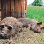 Mangalitsa (known as Mangalica in Hungarian) is a lard-type pig that was first bred in 1833. It is the only woolly pig in the world and also the fattiest one. | Janet Kanters photo