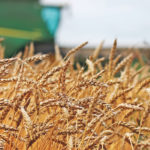 Weak price makes wheat harvest and seeding a chore
