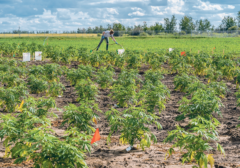 A worker tends to marijuana plants growing outdoors at Bold Growth's site near Saskatoon.  |  Bold Growth photo