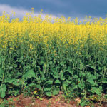 Montana farmers seeded 20,000 acres of winter canola this year, but some producers and crop advisers expect acres to increase 10-fold.  |  File photo