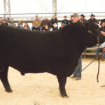 "Lee Wilson of Miller Wilson Angus at Bashaw, Alta., showed the grand champion Black Angus at the Olds Classic Livestock Show. Judge Chamarie Viator called this bull ""the most complete we have seen here.""  