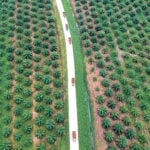 Tightening palm oil forecast likely to support all oilseeds