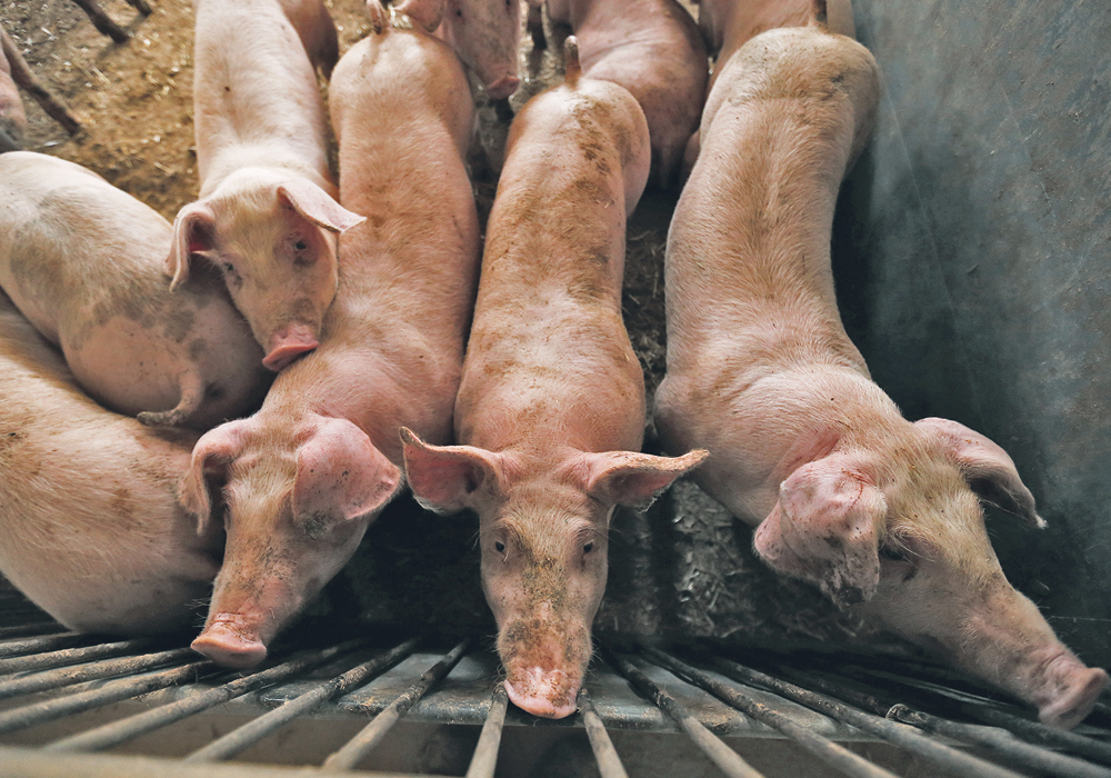 North America braces for African swine fever shock | The Western ...