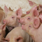 The fatal pig disease has slashed China's hog herd by as much as half since August 2018 and has already lifted margins for processing soybeans into animal feed, Ray Young, ADM's chief financial officer, told the Stephens Nashville Investment Conference. | File photo