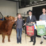 The grand champion Limousin female was the entry of Double B Cattle Co of Unity, Sask.  Named DBCC Fool's Gold 2F, this 2018 female is the daughter of Greenwood Canadian Impact ET from Greenwood Livestock, Lloydminster. This bull was Supreme champion at Farmfair International and Canadian Western Agribition Supreme in 2017. Owner Kendra Hewson is at the halter.  | Barbara Duckworth photo