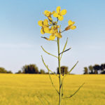 Lack of acres dampens organic canola demand