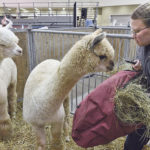Alpaca show entries impress German judge
