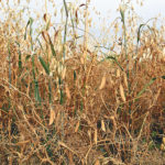 Farm program update urged for intercropping