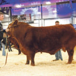 Limousin bull wins big at Agribition