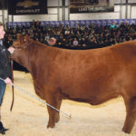 Kendra Hewson of Unity, Sask., shows the grand champion Limousin female at last month's Canadian Western Agribition. Showing at this level has elevated the Limousin breed, which has been in Canada for 50 years.  |  Barbara Duckworth photo
