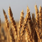 Mid-December Prairie wheat bids mixed