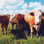 By maximizing forage yield through grazing management, producers get more pounds of beef per acre.  |  File photo