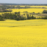 Canola disappearance error found