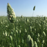 Canaryseed one step closer to