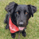 Ernie, a member of the St. John's Ambulance Therapy Dog team in Saskatoon, regularly visits patients and staff at the Royal University Hospital's emergency room in that city.  |  Teri Rothenburger photo