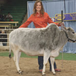 Miniature Zebus turn heads at cattle show