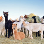 Couple turns alpaca fleece into yarn