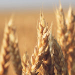 Russia raises eyebrows with talk of limiting grain exports