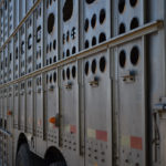 Animals recovering following stockyard accident
