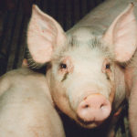 African swine fever can go undetected because producers initially attribute hog deaths to other causes.  |  File photo