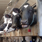 Feds new dairy compensation vow