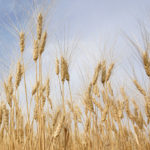 Durum stocks dwindle as exports pick up