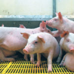 The federal government is preparing to contain and eradicate African swine fever if it spreads to the United States to avoid the type of devastation seen in China, where the disease has reduced the herd by more than 40 percent and pushed pork prices to record highs. | File photo