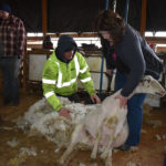 One down, 211,999 to go: sheep shearing