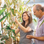 New corn variety copes better with cold