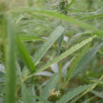 Fibre demands growing for Alberta hemp