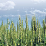Spring wheat could find its wings