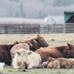 Pandemic not affecting all cattle sectors equally