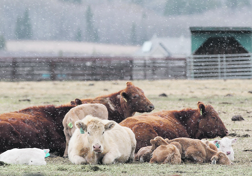 Economists say cow-calf producers aren't in bad shape now because they don't have to sell calves, but they are fearful of the market six months from now.  |  Wendy Dudley photo