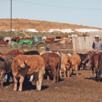 Alta. to set up bid system for backlogged cattle