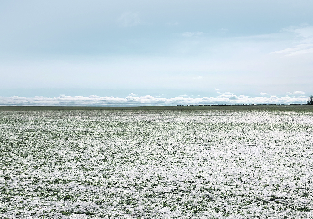 Matt Sawyer's wheat crop was devastated June 13 after a hailstorm swept through an area north of Calgary. This is what his field looked like the day after hailstorm.  |  Matt Sawyer photo