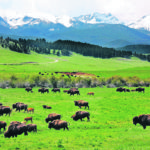 Bison health concerns have pretty short list