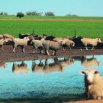 Farms in Australia are recovering from a long, hard drought. As a result they will be returning to the ag exports market this year. Sheep are seen on a farm following heavy rains near the drought-affected town of Tamworth in New South Wales, Australia earlier this year.  |   Reuters/Loren Elliott photo