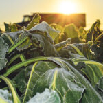 Widespread frost blankets Prairies