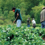 Foreign farm workers in several provinces fell ill from the virus, and three migrant employees have died. That brought negative attention to a system that was already looked upon poorly by many, despite those in the agricultural world maintaining the majority of workers arriving in Canada are treated fairly. | File photo
